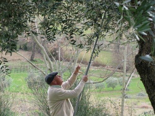 bill pruning olives