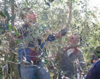 pruning olives