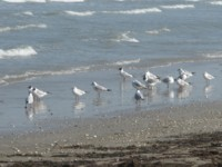 gulls on torrete beach