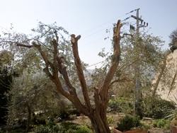 olive tree pruned